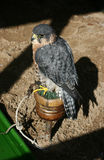 Bird of Prey Peregrine. A bird of prey, probably a peregrine merlin royalty free stock image