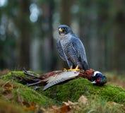 Bird of prey Peregrine Falcon (Falco peregrinus) Stock Photos