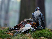 Bird of prey Peregrine Falcon (Falco peregrinus) Royalty Free Stock Photo
