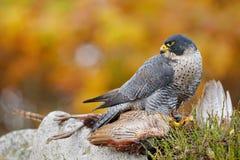 Bird of prey Peregrine Falcon, Falco peregrinus, with kill Common Pheasant on stone. Orange autumn forest in the background. royalty free stock photo