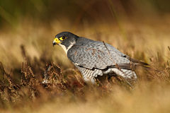 Bird of prey Peregrine Falcon in heather meadow Stock Image