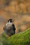 Bird of prey Peregrine Falcon sitting on the moss stone with orange autumn background Stock Photos