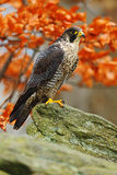 Bird of prey Peregrine Falcon sitting on the rock with orange autumn forest in background Royalty Free Stock Images