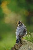 Bird of prey Peregrine Falcon sitting on the stone with green and yellow forest background Royalty Free Stock Images