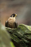 Bird of prey Peregrine Falcon sitting on the stone with grey rock background Royalty Free Stock Images