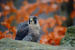 Bird of prey Peregrine Falcon sitting on the stone with orange autumn forest in background. Bird of prey Peregrine Falcon sitting on the stone Stock Images