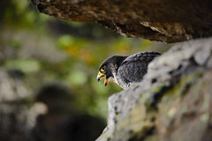 Bird of prey Peregrine Falcon sitting on the stone in the rock, detail portrait in the nature habitat, Germany Stock Photos