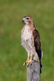 Bird of Prey Portrait. A beautiful Red-tailed Hawk on the hunt over a meadow in rural Georgia Royalty Free Stock Photos