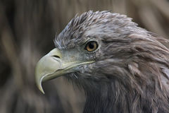 Bird of prey. Portrait of an eagle. Bird of prey. Portrait of eagle close up royalty free stock photo