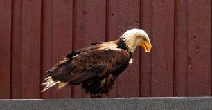 Bird Of Prey, Raptor, Bald Eagle Stock Photos