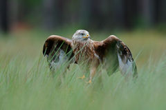 Bird of prey Red kite, Milvus milvus, landing in the green marsh grass, with open wingspan, forest in the background Royalty Free Stock Photo