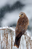 Bird of prey Red kite, Milvus milvus, sitting on the branch with snow winter Royalty Free Stock Images