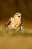 Bird of prey Red-tailed Hawk, Buteo jamaicensis, portrait with open bill with blurred habitat in background Royalty Free Stock Photos
