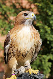 Bird of prey red-tailed hawk known in the United States as chick Stock Image