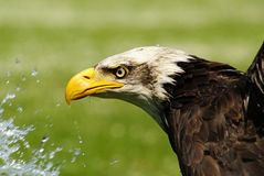 Bird of prey, refreshment stock photos