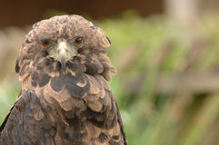Bird of prey- ruffled feathers. A bird of prey with ruffled feathers looking directly at the camera stock photography