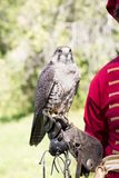 A bird of prey for Russian falconry. Peregrine Falcon sits on a hand in a special leather glove against a background of green foliage, looks into the camera. A stock images