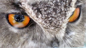 Bird of Prey`s Eyes Royalty Free Stock Photos
