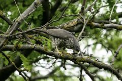Bird of prey sitting in a branches of a tree. Bird of prey sitting in the branches of a tree stock images