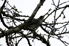 Bird of prey sitting in a branches of a tree. Bird of prey sitting in the branches of a tree royalty free stock image