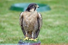 Bird of prey Royalty Free Stock Photos