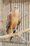 Bird of prey in Tozeur Zoo Stock Photos