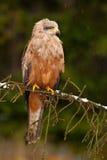 Bird of prey on the tree branch. Black Kite, Milvus migrans, brown bird of prey sitting larch tree branch, animal in the nature ha Stock Photography