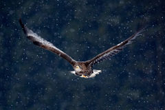 Bird of prey White-tailed Eagle, Haliaeetus albicilla, flying with snow flake, dark forest in background Royalty Free Stock Images