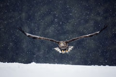 Bird of prey White-tailed Eagle, Haliaeetus albicilla, flying with snow flake, dark forest in background Stock Photos