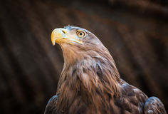 Bird of prey White-tailed Eagle sitting on a tree Royalty Free Stock Images
