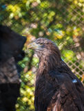 Bird of prey White-tailed Eagle sitting on a tree Stock Photography