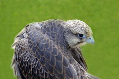 Bird of prey and wing / feathers Stock Photo