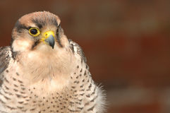 Bird of prey- yellow markings Royalty Free Stock Photos