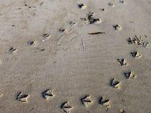 Bird prints in the sand. Stock Photos