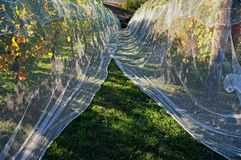 Bird proof nets protecting grape production in New Zealand stock image