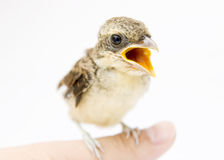 Bird protection. A single hungry bird  called sparrow  stands in a human hand finger,and its mouth is out crying Royalty Free Stock Photo