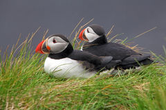 Bird Puffin Royalty Free Stock Photos