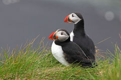 Bird Puffin Stock Photography