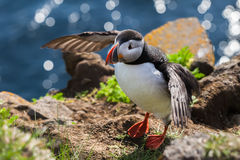 Bird puffin wants to fly, Iceland Royalty Free Stock Image