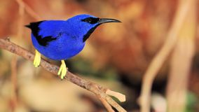 Bird, Purple Honeycreeper. Purple Honeycreeper standing on a tree branch in an aviary in Butterfly World, South Florida.  The typical honeycreepers (Yellow Stock Photo