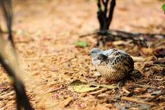 Bird: Quails Royalty Free Stock Photos