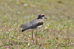 Bird Quero Quero Stock Photography