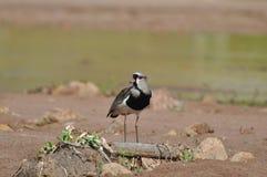 Bird Quero Quero near river. Royalty Free Stock Images