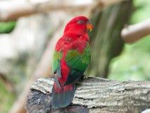 ฺBird röd-gången mot parakiter. Royaltyfri Foto