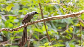 Bird (Racket-tailed Treepie) in a wild Stock Photos