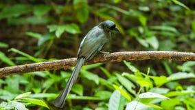 Bird (Racket-tailed Treepie) in a wild Royalty Free Stock Photos