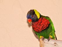 Bird, rainbow lorikeet on tree branch in aviary Royalty Free Stock Photo
