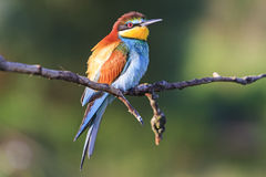 Bird - rainbow sits on a branch Stock Images