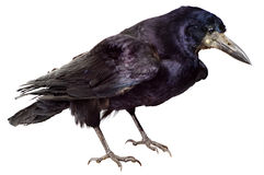 Black Raven Bird stock photo