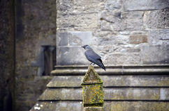Bird raven sitting in the front of old church Royalty Free Stock Photography